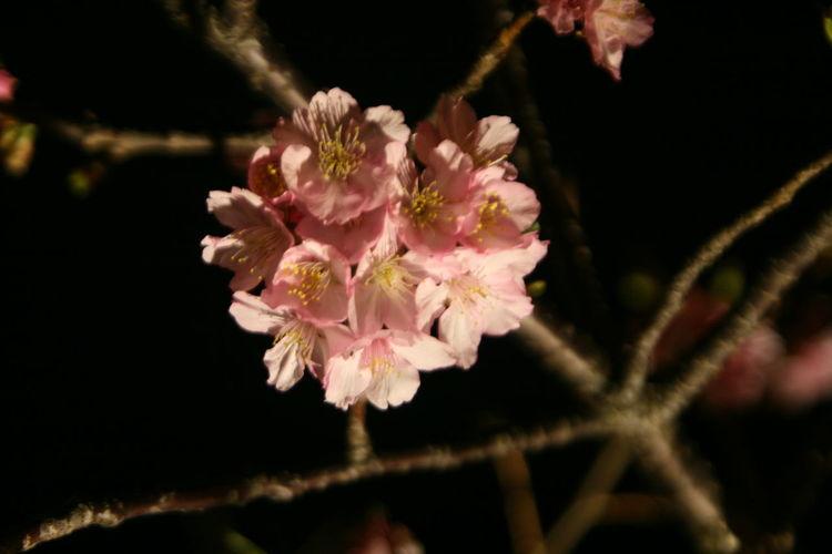 2017新竹公園櫻花季 Beauty In Nature Black Background Flower Nature Outdoors Pink Color Plant