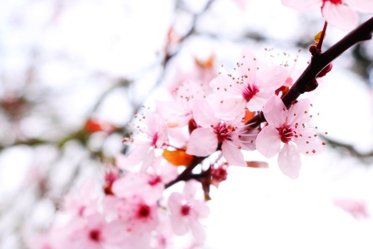 Spring is coming! Canon EyeEm Nature Lover Flower Blossom Cherry Blossom Springtime Fragility Beauty In Nature Branch Freshness