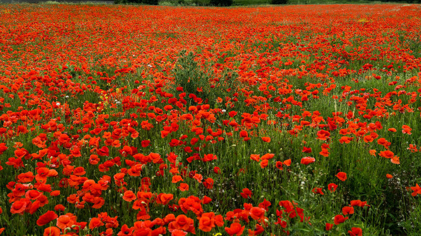 British Legion Flanders WW2 Memorial Abundance Backgrounds Beauty In Nature Field Flanders Poppy Flower Flower Head Flowerbed Flowering Plant Fragility Freshness Full Frame Gardening Growth Land Nature No People Outdoors Petal Plant Poppy Red Remberance Day Remeberance Springtime Tranquility Vulnerability  Ww1 Ww1 Memorial Ww2
