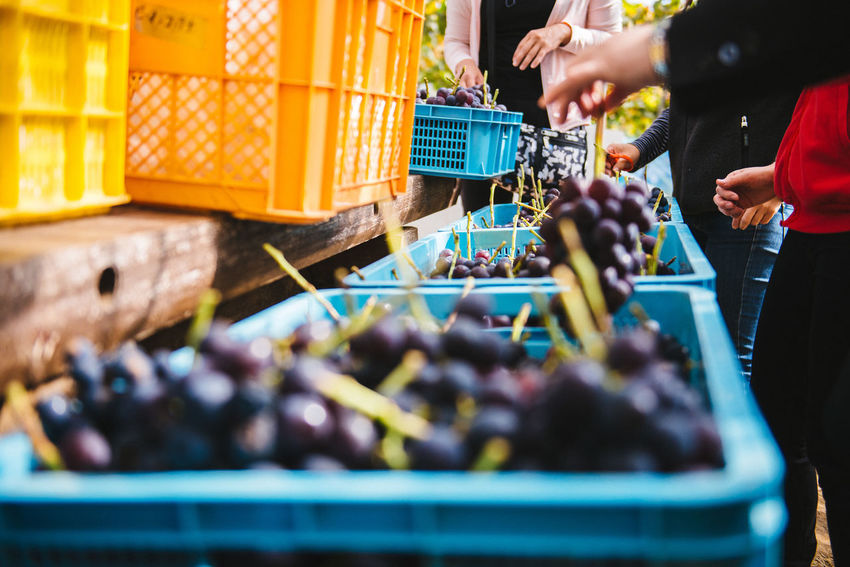 Harvesting of wine grapes in Yamanashi, Japan. Adult Adults Only Choice Choosing Customer  Day Food Friendship Grapes Harvesting Human Body Part Human Hand Market Men Only Men Outdoors People Purple Retail  Togetherness Two People Variation Young Adult Young Women