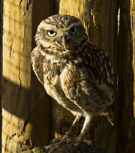 Burrowing owl Animal Themes Animal Wildlife Bird Bird Of Prey Burrowing Burrowing Owl Close-up Day Nature Nature Photography No People Noctural One Animal Owl Perching