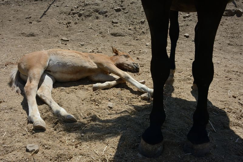 sleeping near the mom Black Horse Breeding Horses Mother & Daughter Nature Sardinia Sardegna Italy  Brown Filly Day Domestic Animals Equestrianphotography Filly Herbivorous Legs Low Section Mammal Mammals Paddock Pets Portrait Riding School Sand Sleeping Horse Sunlight Togetherness Tranquil Scene