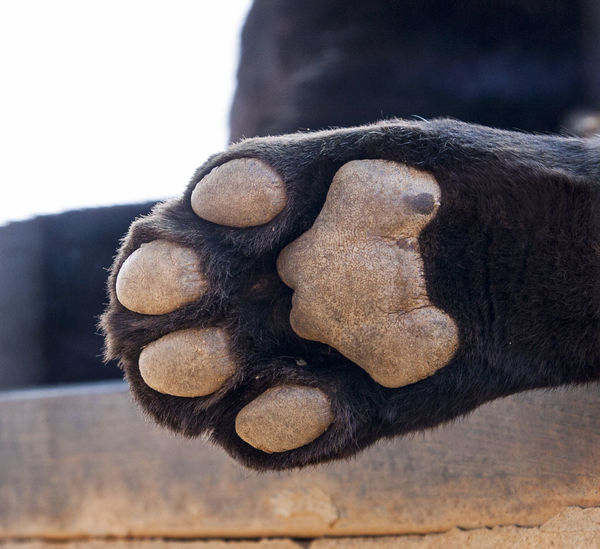 Africa Animal Themes Animals Beauty In Nature Black Leopard Close-up Day Domestic Animals EyeEm EyeEm Nature Lover Human Hand Leopard Paw Lepard Mammal Nature No People One Animal One Man Only One Person Outdoors Paw Pets Wildlife