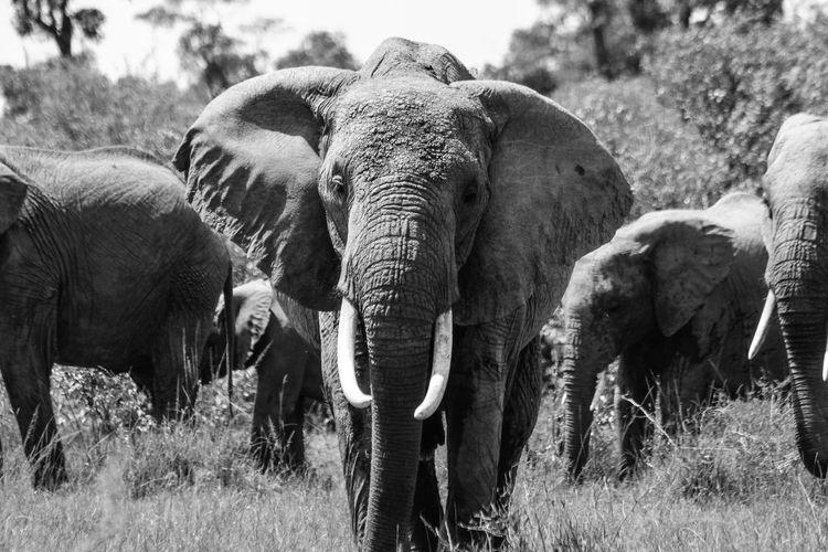 Elephants on grassy field at masai mara national reserve