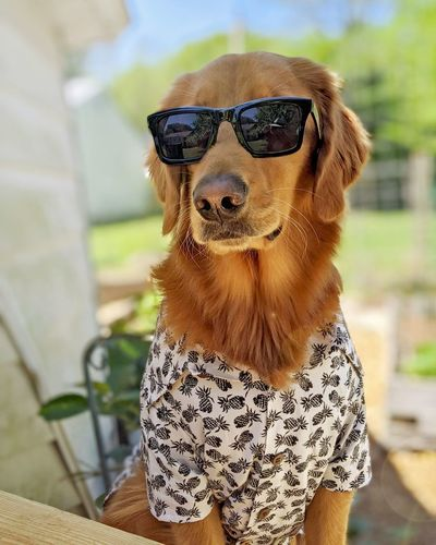 Close-up of a dog wearing sunglasses