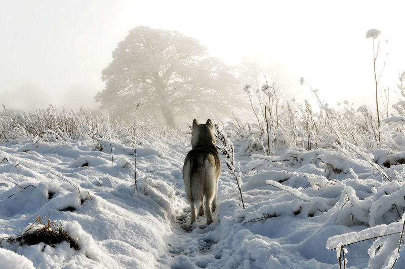 Siberian Husky Animal Themes Beauty In Nature Cold Temperature Day Dog Domestic Animals Mammal Nature No People One Animal Outdoors Pets Siberianhusky Snow Winter Wolf Capture Tomorrow
