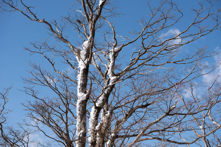 Tree Branch Bare Tree Sky Low Angle View Plant Nature Day Tranquility No People Beauty In Nature Clear Sky Outdoors Blue Winter Trunk Tree Trunk Scenics - Nature Sunlight Growth