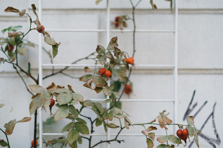 Close-up of fruits growing on plant against wall