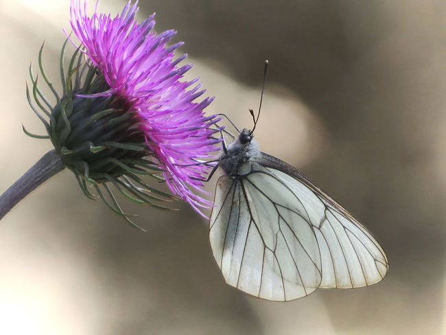 Animal Themes Beauty In Nature Butterfly - Insect Close-up Flower Flower Head Focus In Foreground Fragility Insect Nature No People Outdoors Purple Transparency White Wings