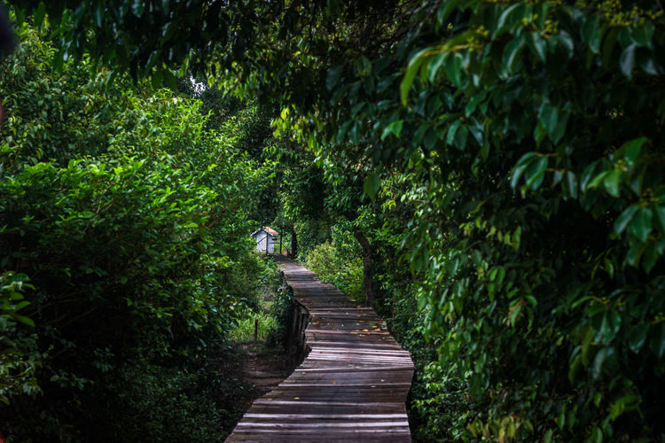 Footpath amidst trees in borneo forest