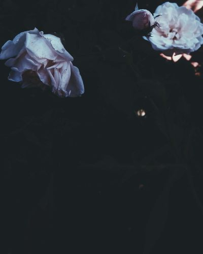 Rose flower Mobilephotography VSCO Vscocam Vscoasia Vscovietnam Vscovisuals Rose - Flower Flower Dark Darkness Outdoors Beauty In Nature Fragility Vulnerability  Flowering Plant Plant Petal Copy Space Freshness No People Close-up Inflorescence Nature Flower Head Black Background Night Growth Rosé