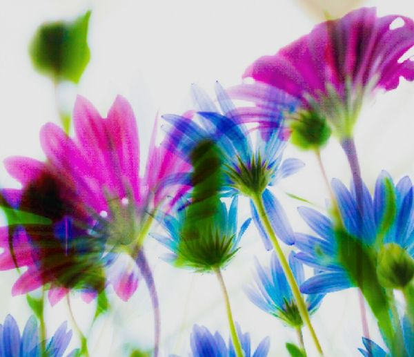 Flowers Flower Colors Colorful Spring Spring Flowers Cineraria Photofabricaition Art Processing