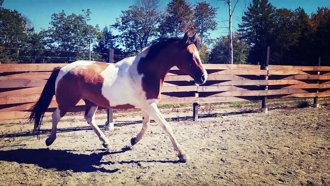 My favorite boy. Painthorse Trot