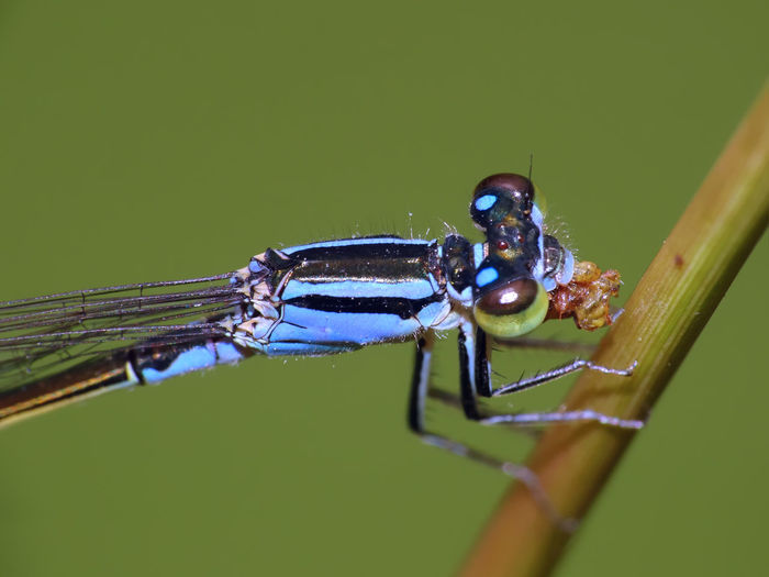 Damselfly (Ischnura elegans) eating a small insect - Serchio river Beauty In Nature ❤️❤️ Insect Macro  Insecta Ischnura Ischnura Elegans Zygoptera Animal Themes Arthropoda Blue-tailed Damselfly Close-up Coenagrionidae Damselfly Hexapoda Insect Insect Close-up Nature Odonata