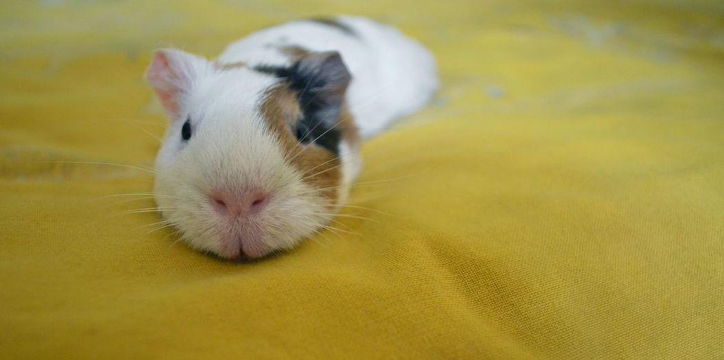 Meanwhile, if you are feeling little mopey today. This should cheer you up Pets Animals Cute Guineapig