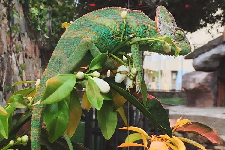 Mimetic in the streets Urban Nature Leaf No People Nature Reptile Focus On Foreground Outdoors Chameleon Animals In The Wild Animal Wildlife Close-up Growth One Animal Plant Tree