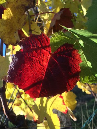 Autumn Autumn Colors Vineyard Vine Leaves Red Autumn Light