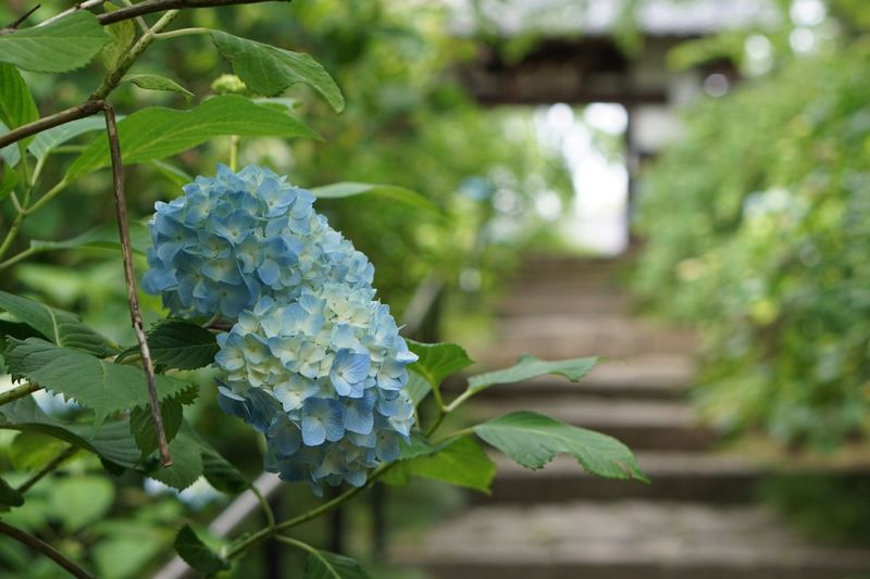 Hydrangea Plant Growth Focus On Foreground Leaf Close-up Freshness Flower Nature Outdoors Green Color