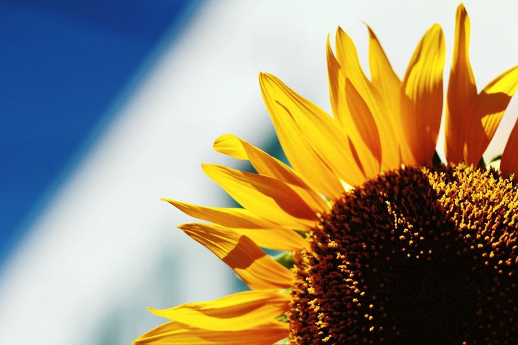 CLOSE-UP OF SUNFLOWER WITH COPY SPACE