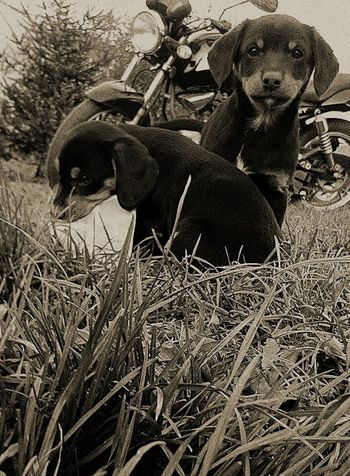 Dogs Dog Motor Psy Pies Motorcycles Motorcycle Gross Trawa Black And White Czarno-białe Czarny I Biały Czarny Biały Blackandwhite Black White Dog❤ Puppies Szczeniak