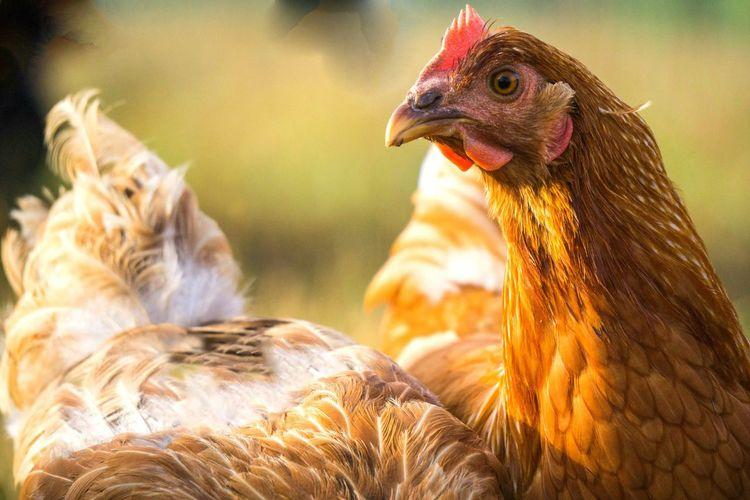 Farm, chicken, fowl, portrait, farmer, feathers, Farm Farm Animals Farmcountry Chickens Feathers Fowl Fowl