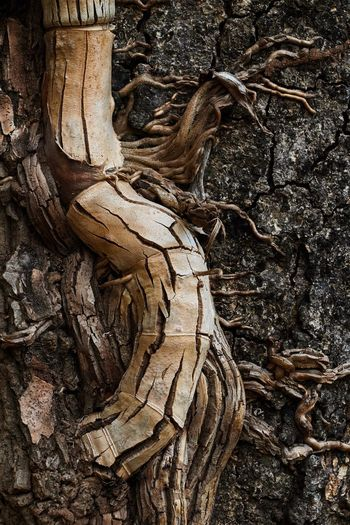 Parasite vine Parasite Parasite Plant Vine Forest Wood Decaying Decay Dry Tree Tree Trunk Plant Plant Part Nature No People Close-up Root Trunk Wood - Material Outdoors Growth Day Plant Bark Leaf Textured  Bark Dead Plant