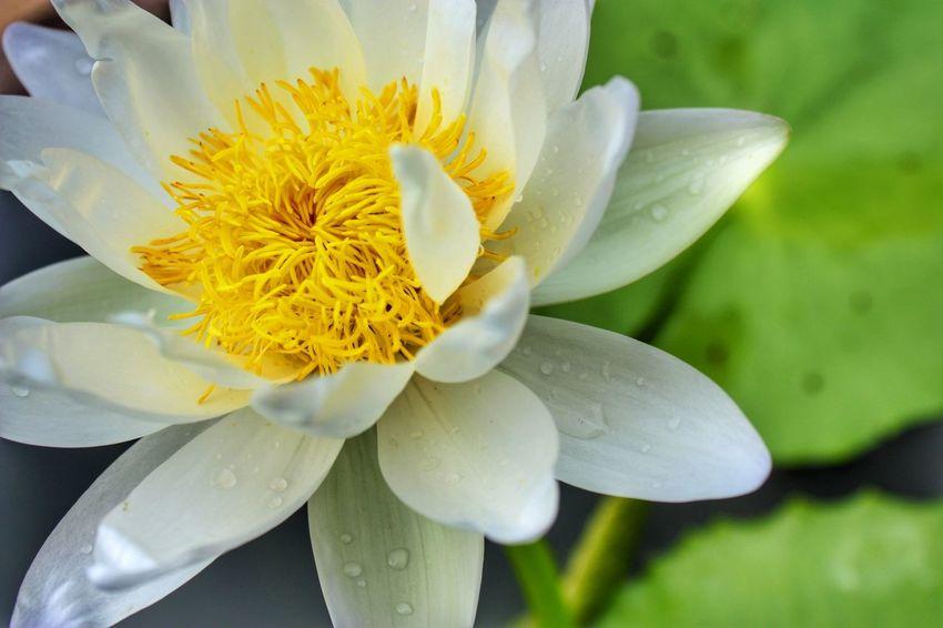 thai lotus Lotus Flower Flower Beauty In Nature Nature Plant Lotus Thai Lotus Flower Water Lotus Blossom