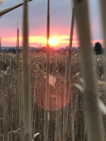 The corn is on fire Cornfield Sunset Nature Beauty In Nature Sky Sun Field Growth