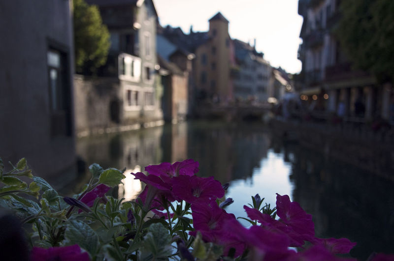 Purple flowering plants by canal against buildings