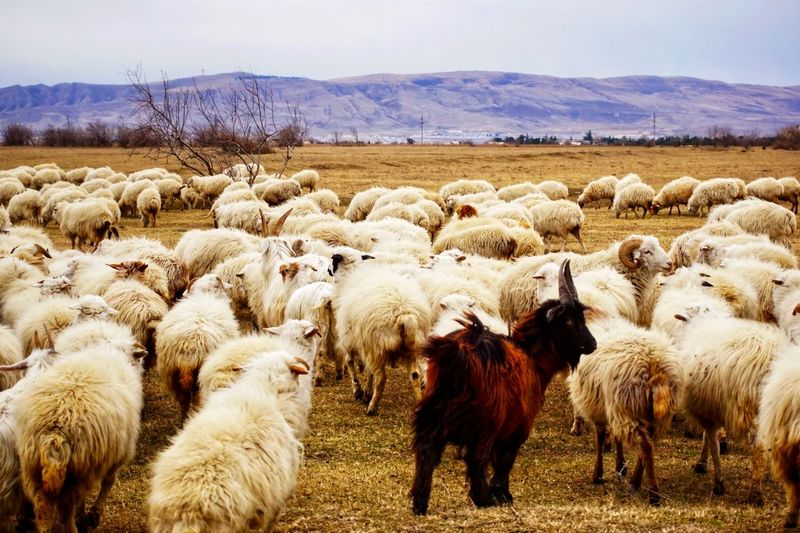 Someone has to stand out Grazing Goat Mammal Animal Themes Animal Domestic Animals Pets Group Of Animals Domestic Sheep Large Group Of Animals Livestock Vertebrate Flock Of Sheep Field Landscape Agriculture Nature Day Land