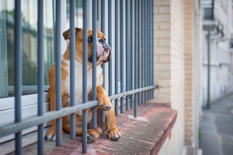 Cute dog in jail. Animal Themes Bouledogue Bouledoguefrancais Chien Close-up Day Dog Dogs Of EyeEm Domestic Animals Grid Jail No People One Animal Outdoors Pets Standing Mix Yourself A Good Time Pet Portraits #FREIHEITBERLIN