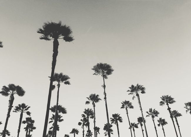 Palm trees Palm Trees Losangeles Palm Tree Tree Low Angle View Growth Tree Trunk Clear Sky Nature Outdoors Sky