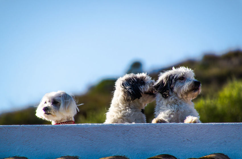Maltese Dog Animal Animal Themes Clear Sky Dog Domestic Animals Focus On Foreground Havanese Havaneser Maltese Malteser Mammal Nature No People Outdoors Pets Puppy Sitting Sky Three Animals Three Dogs Togetherness Two Animals Young Animal Pet Portraits