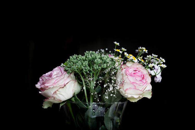 Pink roses in vase against black background