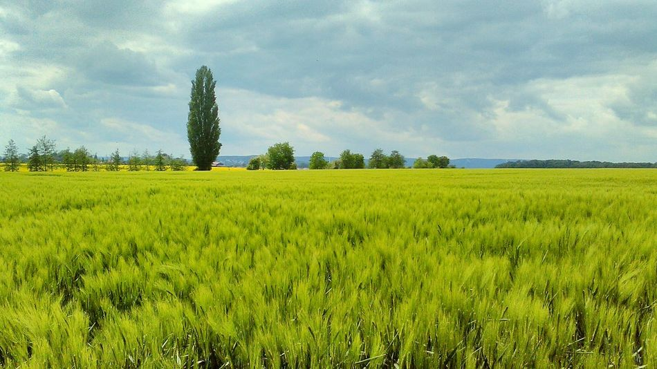Wheat Field Gerstenfeld Gerste Beliebte Fotos Country Side Showcase: May On The Way Beautiful Nature Green Green Green!  Beautiful Landscape Wonderful Scenery Picturesque Idyllic Scenery Beautiful Scenery Landscape Learn & Shoot: Composition Lower Saxony Getreide Barley Barley Field The Great Outdoors - 2016 EyeEm AwardsBlue Sky And Clouds Beautiful View Trees In Background Nature's Diversities Lost In The Landscape