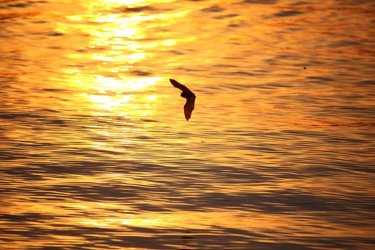 Live For The Story Bat Sunshine Sunset One Animal Nature Water Animals In The Wild Bird Animal Themes Beauty In Nature Reflection Flying Animal Wildlife Outdoors Waterfront Lake Scenics No People Tranquility Day Spread Wings Sky