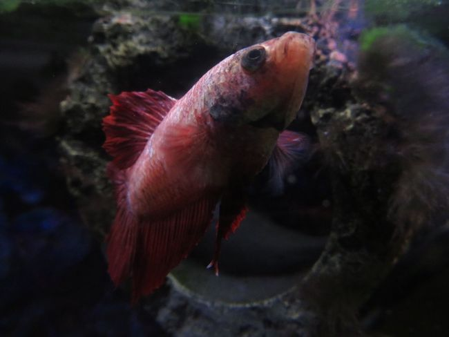 Animal Themesemes One Animal Fish Bettafish Betta Lovers Bettacommunity Close-up Betta  Bettafishcommunity Bettas Betta Fish