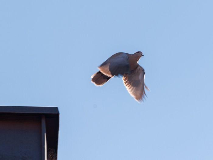 Dove Nature Bird Clear Sky Taube Flügelschlag Flap