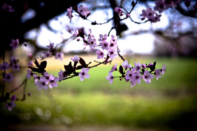 Close-up of purple flowers on cherry tree