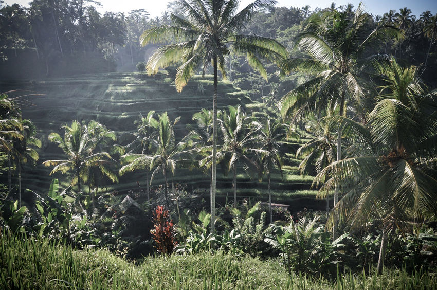 Agriculture Agriculture Photography ASIA Bali Bali Agriculture Bali Rice Field Bali, Indonesia Rice Rice Field Rice Terraces Ricefield Ubud Ubud Rice Fields Ubud, Bali Ubudbali