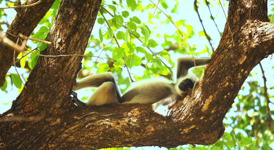 Happiness is where you find it Animal Wildlife Branch Indian Monkey Langoor Mammal Nature No People Outdoors Primate Relaxation Tree