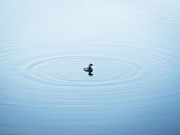 Duck swimming in water