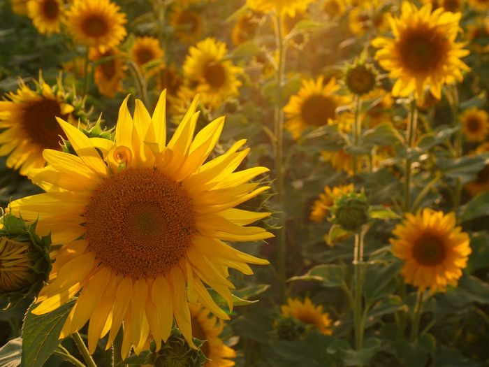 Beautiful sunflowers🌻🌻🌻... Sunflowers Meerbusch🌳 Sunflowers🌻 EyeEm Nature Lover Sunflower Flower Flowering Plant Growth Yellow Flower Head Plant Fragility Field Land Nature Beauty In Nature Close-up Sunflower Inflorescence Pollen No People Freshness Vulnerability  Petal Focus On Foreground
