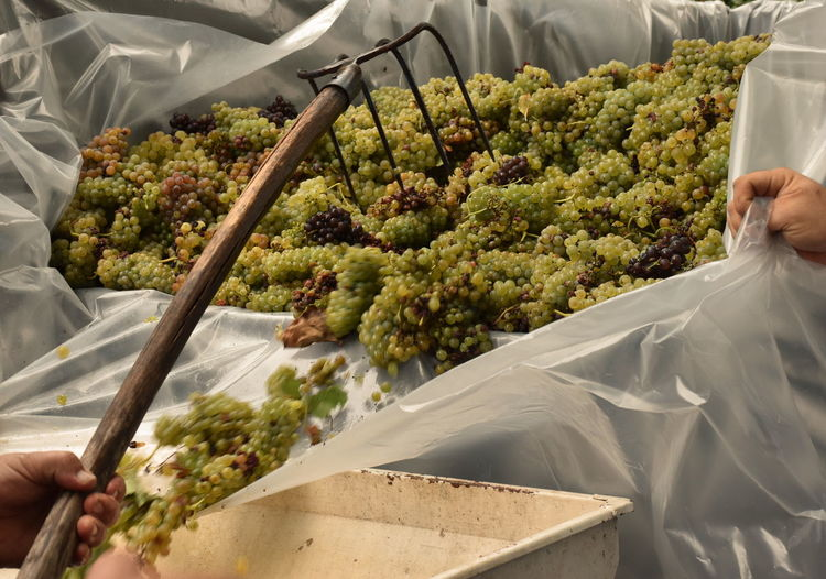 Bunch of grape in truck during vintage