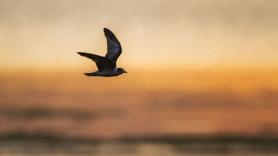 Seagull flying against sky during sunset