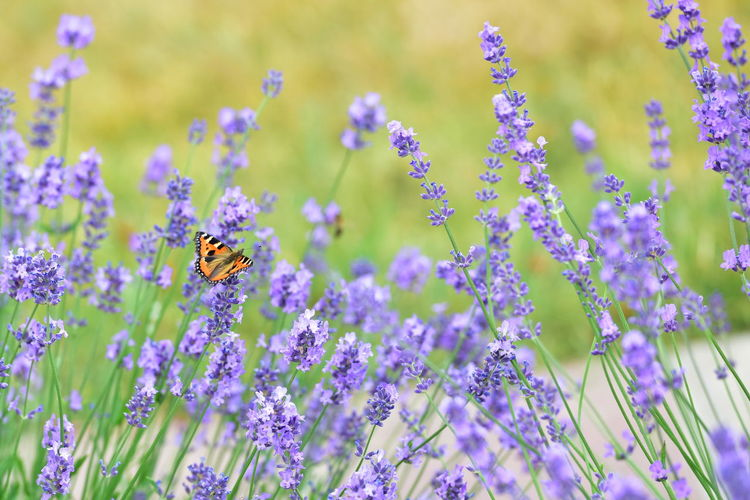 Butterfly Pollinating On Lavender Flowers In Park