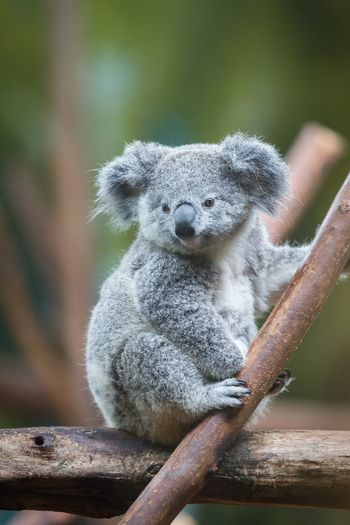 EyeEm Selects Animal Wildlife One Animal Animals In The Wild Focus On Foreground Close-up Day Nature Mammal Hand Vertebrate Outdoors Human Hand Koala Water Zoology People