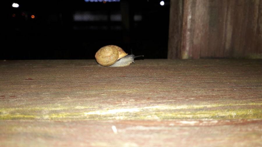 snail 🐌🐌 EyeEm Best Shots EyeEmNewHere EyeEm Nature Lover EyeEm EyeEm Gallery EyeEm Selects EyeEmBestPics Eyeem Market EyeEm Best Shots - Nature Eyeem Snail Snail Snail🐌 Snails Snail Collection Reptile Close-up Snail Animal Shell Seashell Shell