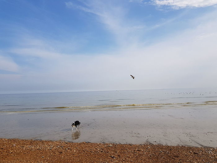 Dog Border Collie Bird Water Sea Beach Flying Sand Pets Sky Horizon Over Water Seagull Low Tide Pebble Beach