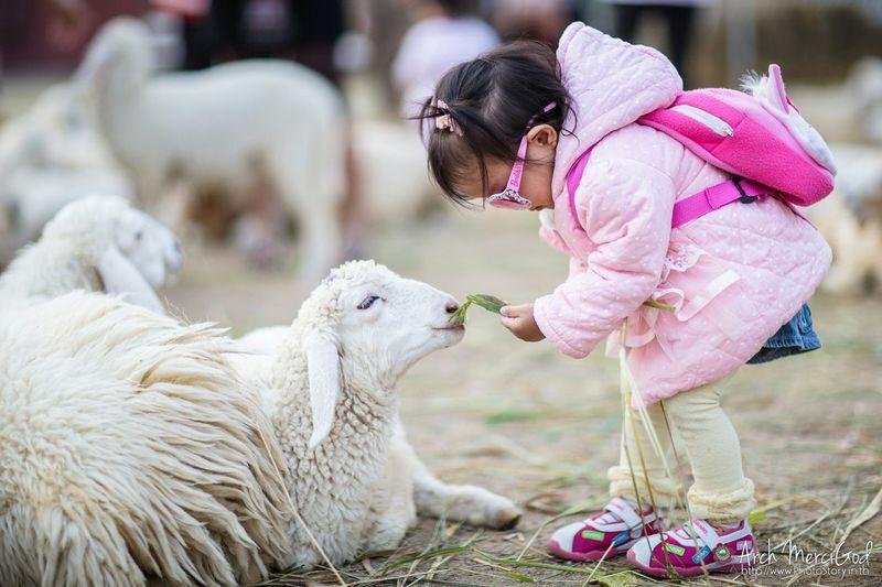 Swiss Sheep Farm Canon 5d Mark Lll My Daughter Archmercigod Holiday Travel Kid Girl Cute Portrait